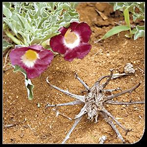 Harpagophytum actifs végétaux - Laboratoire Naturoscience