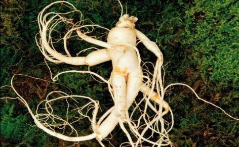 plante ginseng - Laboratoire Naturoscience