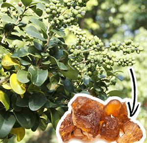 Guggul Arbuste - Naturoscience