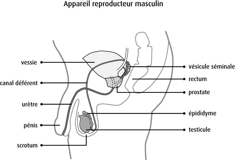 Article et schéma prostate - Laboratoire Naturoscience