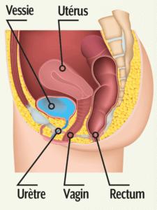 Vessie Utérus Vagin SerenActiv - Laboratoire Naturoscience