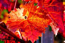 Vigne rouge - Jambes lourdes